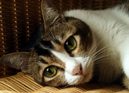 Cat with green eyes, brown fur on face, and white fur on body laying on a couch